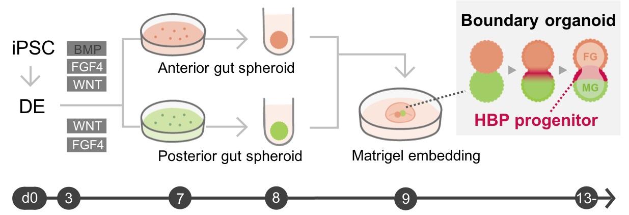 Generation of hepato-biliary-pancreatic organoid from ...